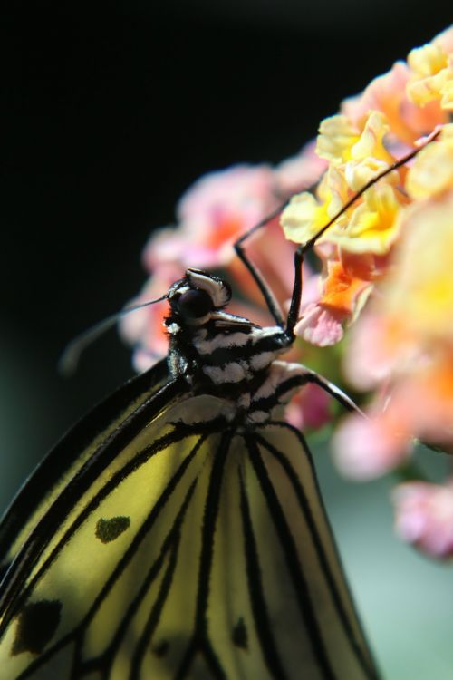 butterfly insect macro
