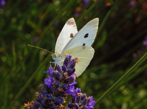 butterfly white insect