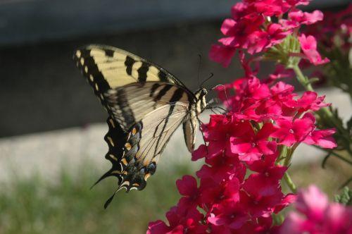 drugelis,geltona drugelis,drugelis ant gėlių,gėlės,gamta,rožinės gėlės