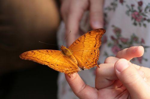 butterfly tropics butterfly handzahm