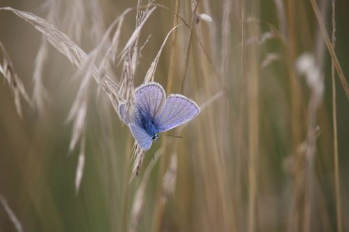 butterfly common blue cereals