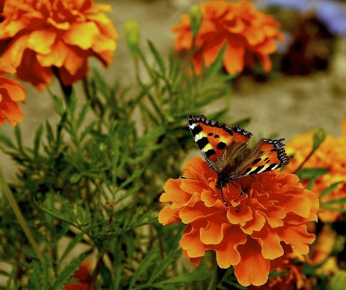 butterfly flowers orange flowers