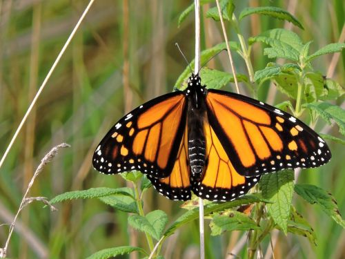 butterfly monarch butterfly monarch