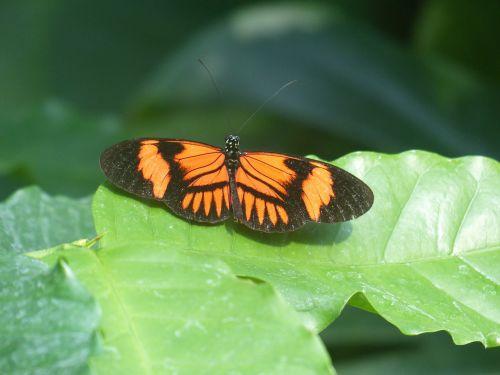 drugelis,aistros drugelis,heliconija melpomene,egzotiškas,atogrąžų,gyvūnas,drugelis namas,vabzdys