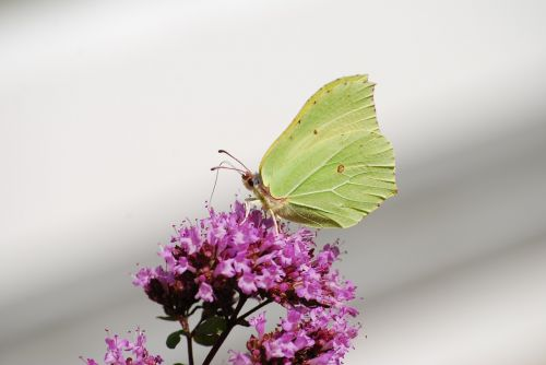 butterfly gonepteryx rhamni insect