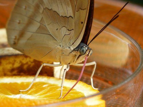 butterfly suction nozzles proboscis
