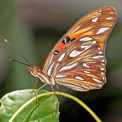 drugelis,Persijos įlankos krioklys,aistros drugelis,laukinė gamta,gamta,vabzdys,makro,Iš arti,lapai,spalvinga,subtilus
