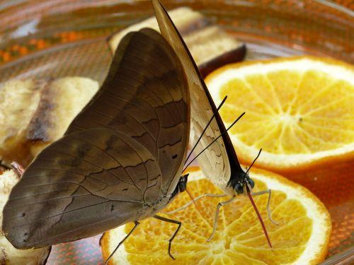 butterfly suck proboscis
