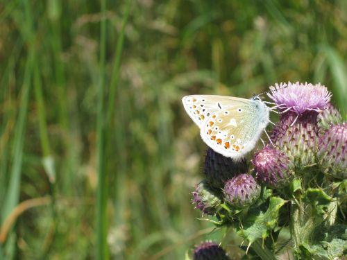 butterfly thistle sligo