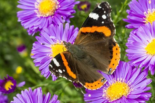 butterfly admiral blossom