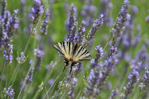 butterfly vanessa lavender