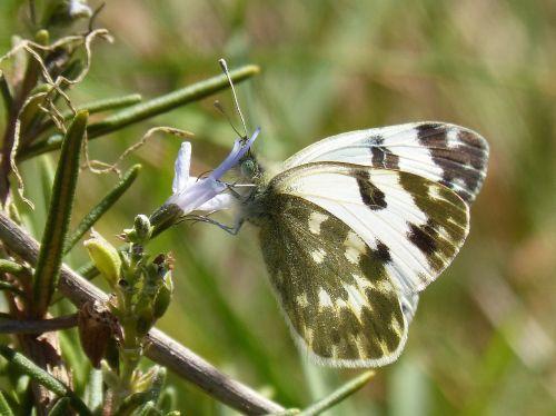 butterfly rosemary libar