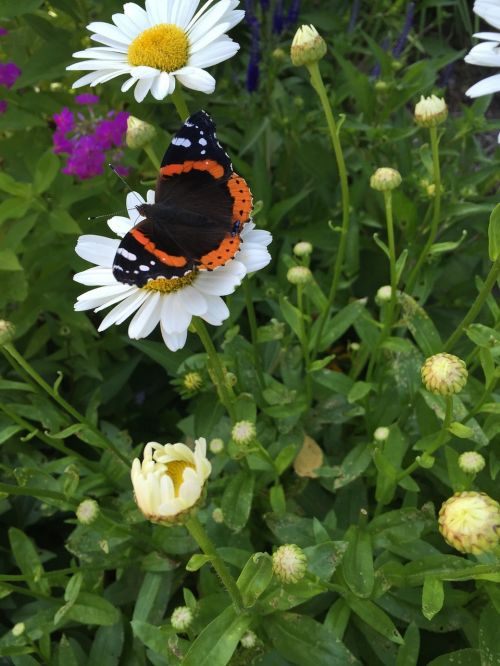 butterfly daisy red admiral