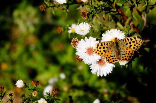 butterfly fritillary edelfalter