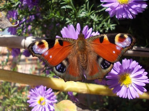 butterfly peacock butterfly aster
