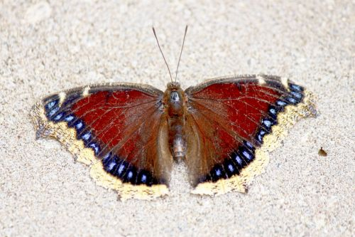 Butterfly Absorbing Minerals