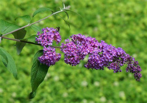 butterfly bush buddleja bee