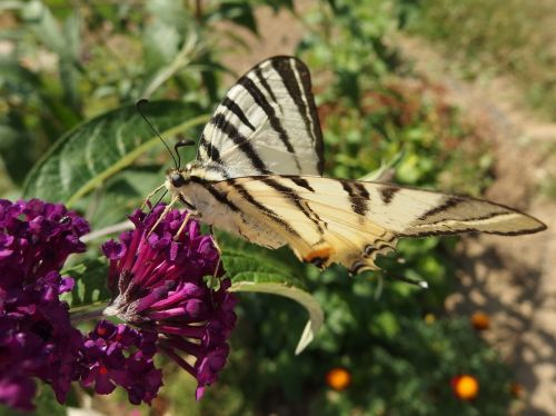 butterfly bush swallowtail fruit flying insects