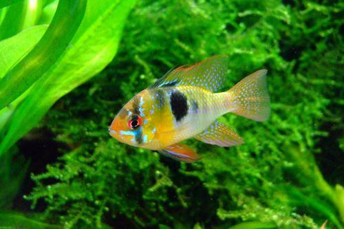 butterfly cichlid aquarium fish
