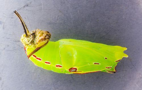 butterfly doll doll caterpillar