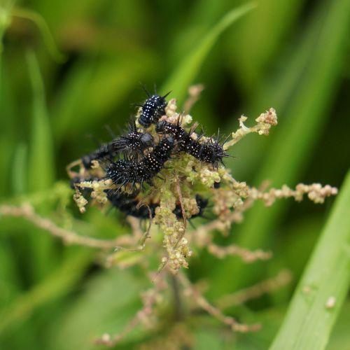 butterfly larvae larvae black