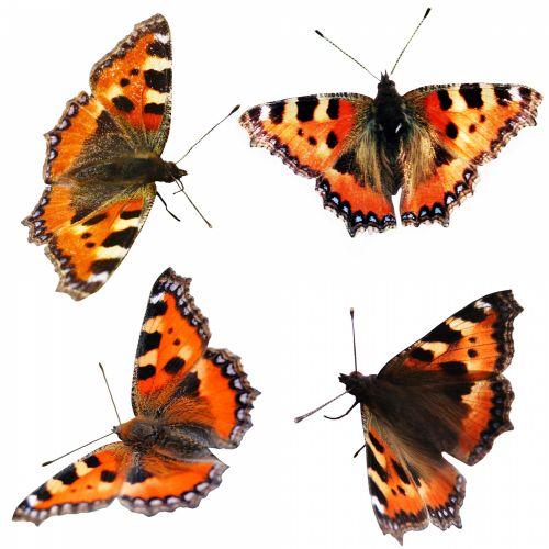 Butterfly Little-fox