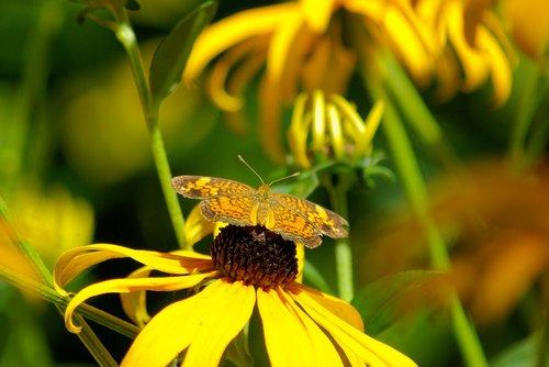 butterfly on a black-eyed susan  black-eyed  susan