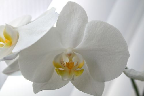 butterfly orchid moth orchid phalaenopsis
