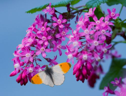 Butterfly Pink Blossom Flowers