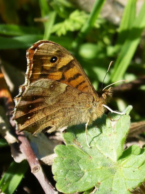 butterfly saltacercas margenera lasiommata megera