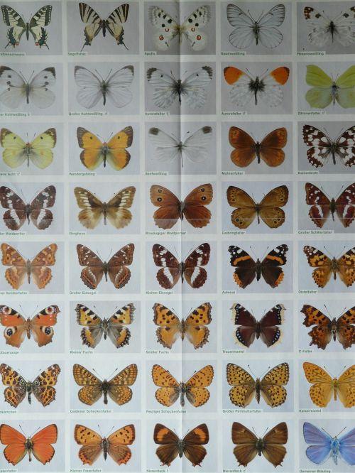 butterfly species butterflies poster
