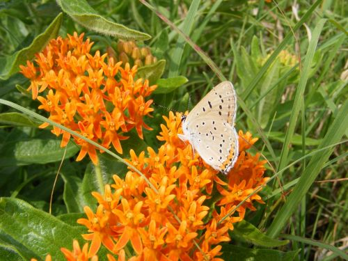 Butterfly Weed With Butterfly