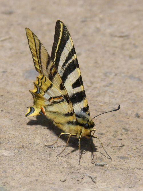 butterfly zebra polidario scarce swallowtail