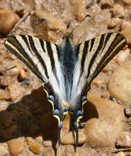butterfly zebra butterfly cebrada scarce swallowtail