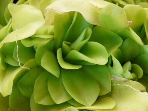 butterwort pinguicula carnivore