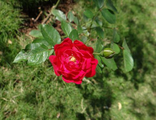 button rose flower bud