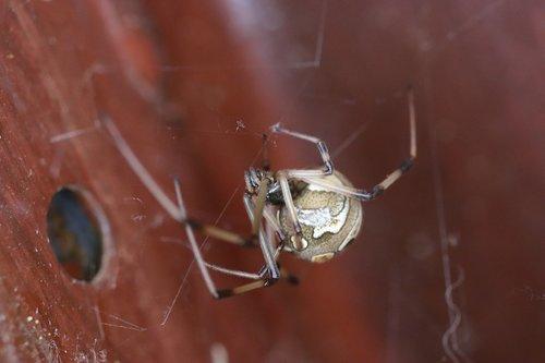 button spider  spider  macro