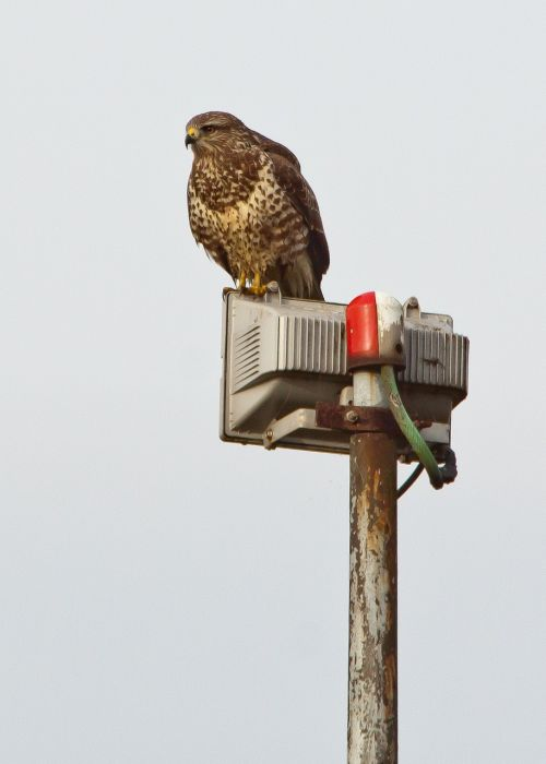 buzzard raptor nature and technology