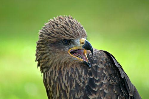 buzzard raptor bird