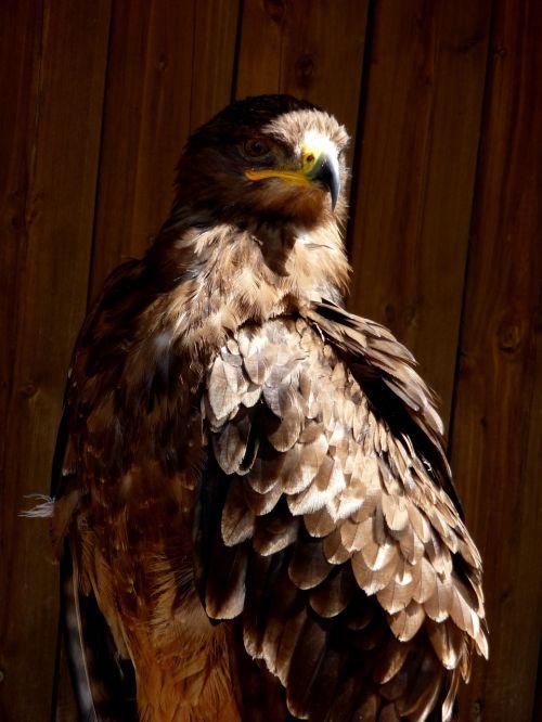 buzzard bird predator