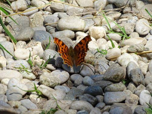 c falter edelfalter butterfly