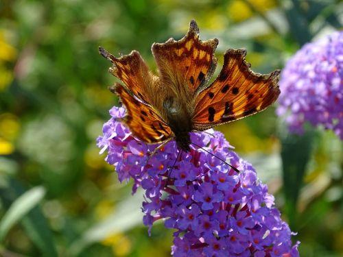 c falter butterfly edelfalter