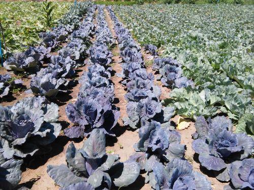cabbage horta horticulture