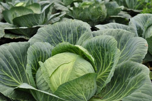 kohl plant vegetables