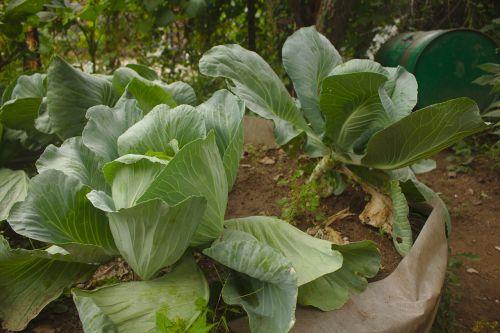 cabbage garden fresh