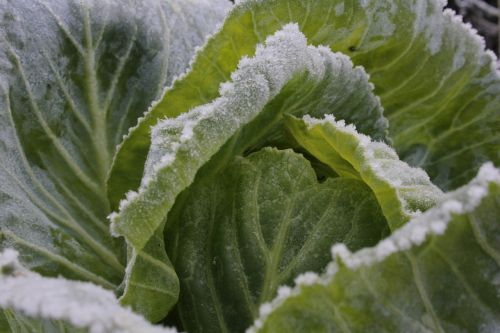 cabbage greens blue
