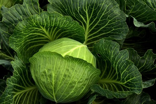 cabbage  cultivation  vegetables