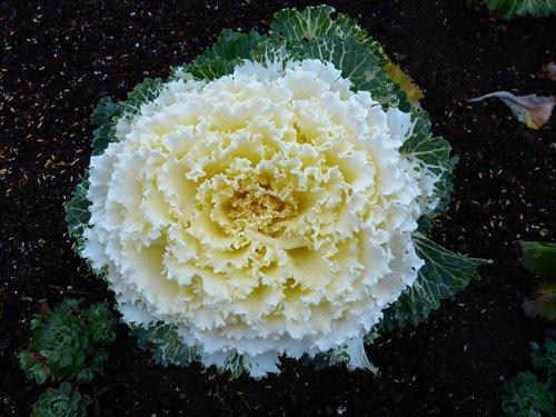 cabbage  flower  vegetables