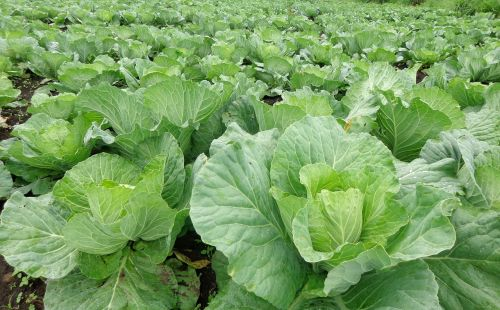 cabbage green area vegetables