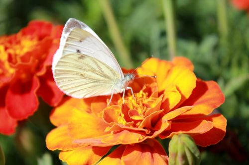 cabbage butterfly butterfly butterfly on a flower